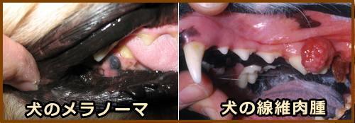 犬の口腔ガン 症状 原因から予防 治療法まで悪性腫瘍を知る 子犬