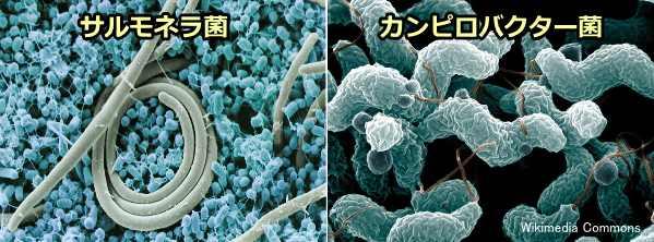 犬の細菌性腸炎(カンピロバクタ...