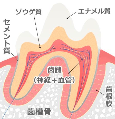 犬の歯の断面図