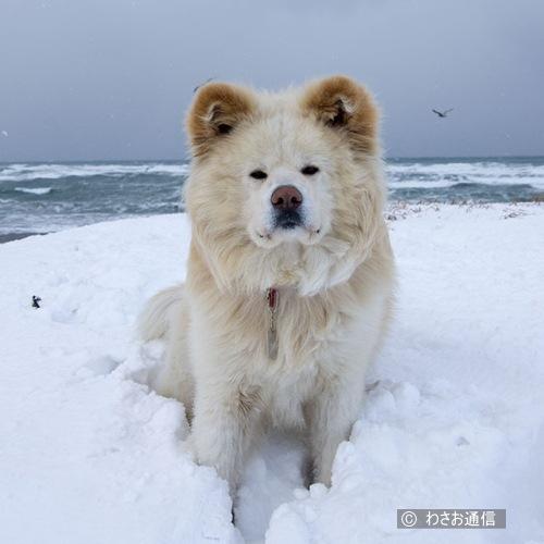雪の中に座るわさお わさおは元々、ライオンのような毛並みから「レオ」と呼ばれていたが、旅行...