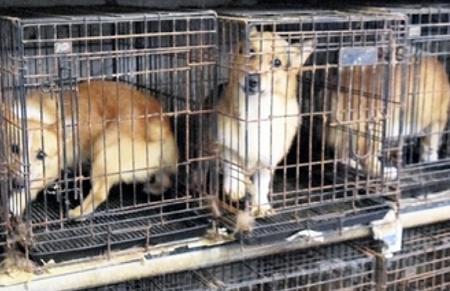 大量繁殖施設内の狭いケージに閉じ込められた繁殖犬