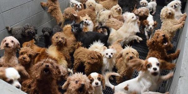1箇所にすし詰め状態されたパピーミルの子犬たち