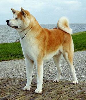 秋田犬の画像 p1_30
