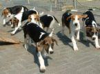 イングリッシュフォックスハウンド(English Foxhound)~犬種の歴史 ...