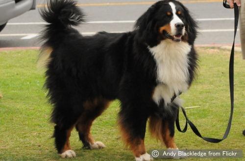 バーニーズマウンテンドッグ(bernese Mountain Dog)~犬種の歴史・特徴・性格から写真・動画まで