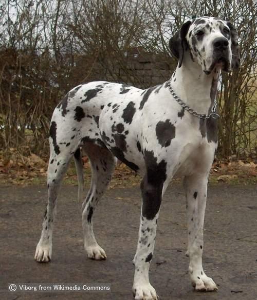 グレートデーン(Great Dane)~犬種の歴史・特徴 ...