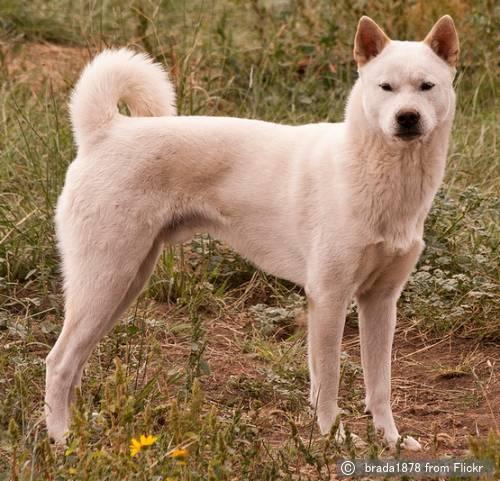 紀州犬(きしゅうけん, Kishu Ken)~犬種の歴史・特徴・性格から ...