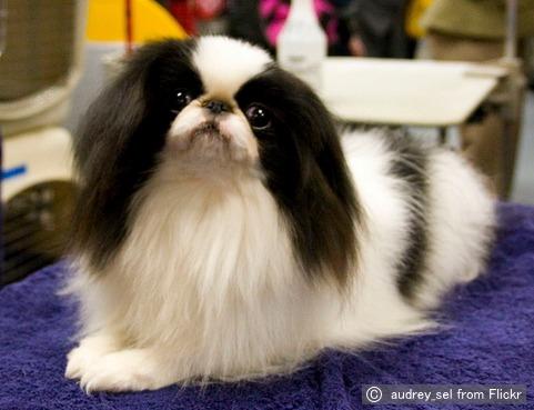狆(ちん, Japanese Chin)~犬...