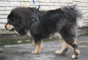 マスティフ チベタン