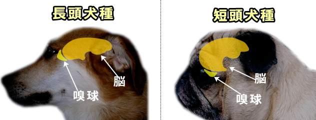短頭犬種の脳は前後に押しつぶされ、嗅球は下方に